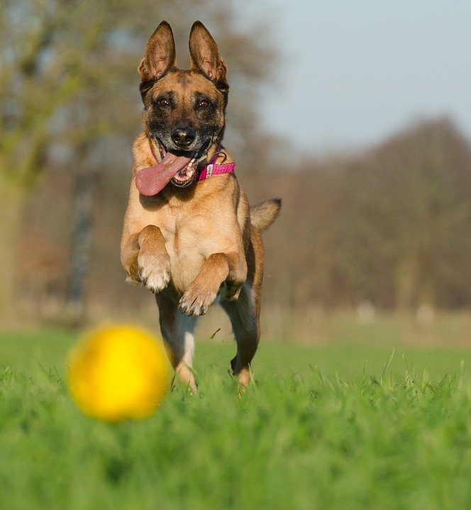malinois-with-ball-662719_960_720